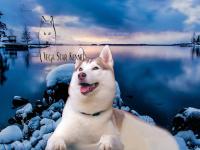 Vega Star Kennel - Husky Siberiano
